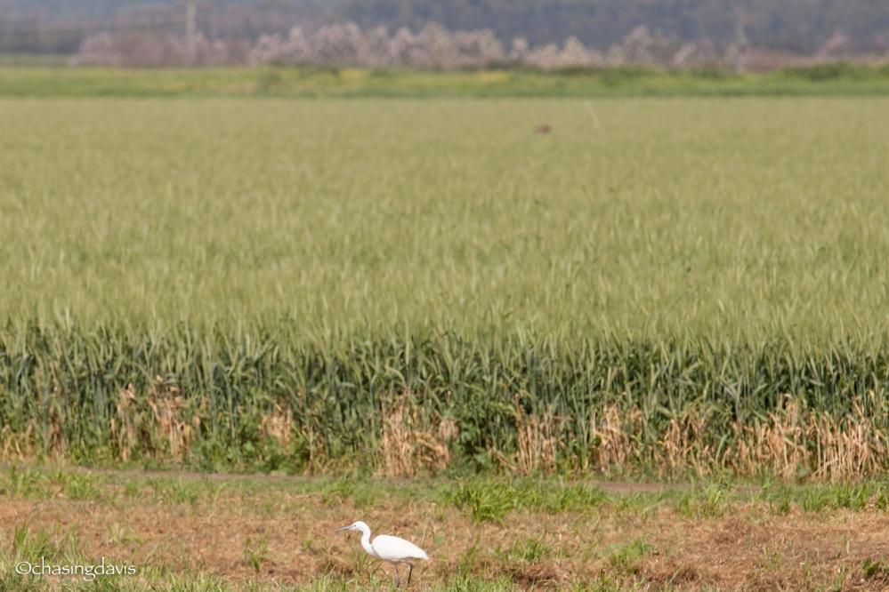 Hula Valley Migration