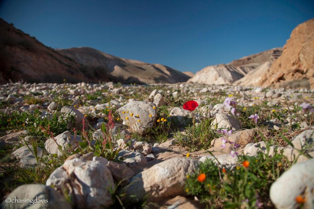 The Negev Desert, Spring Bloom