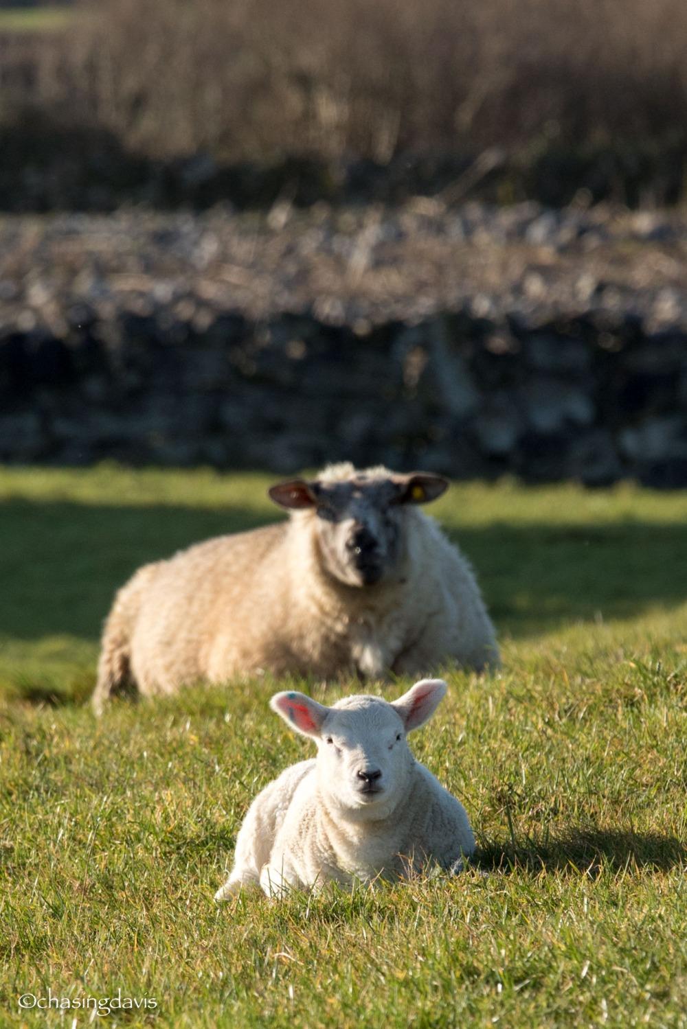 Baby Sheep-1