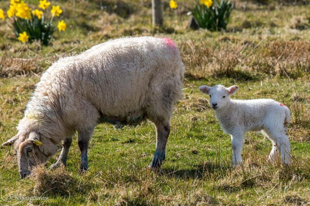 Baby Sheep-10
