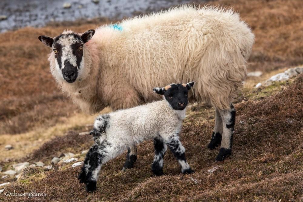 Baby Sheep-13