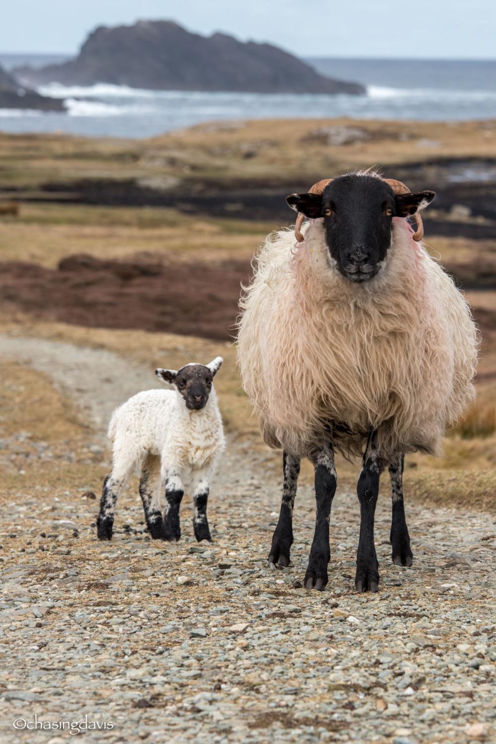 Baby Sheep-16