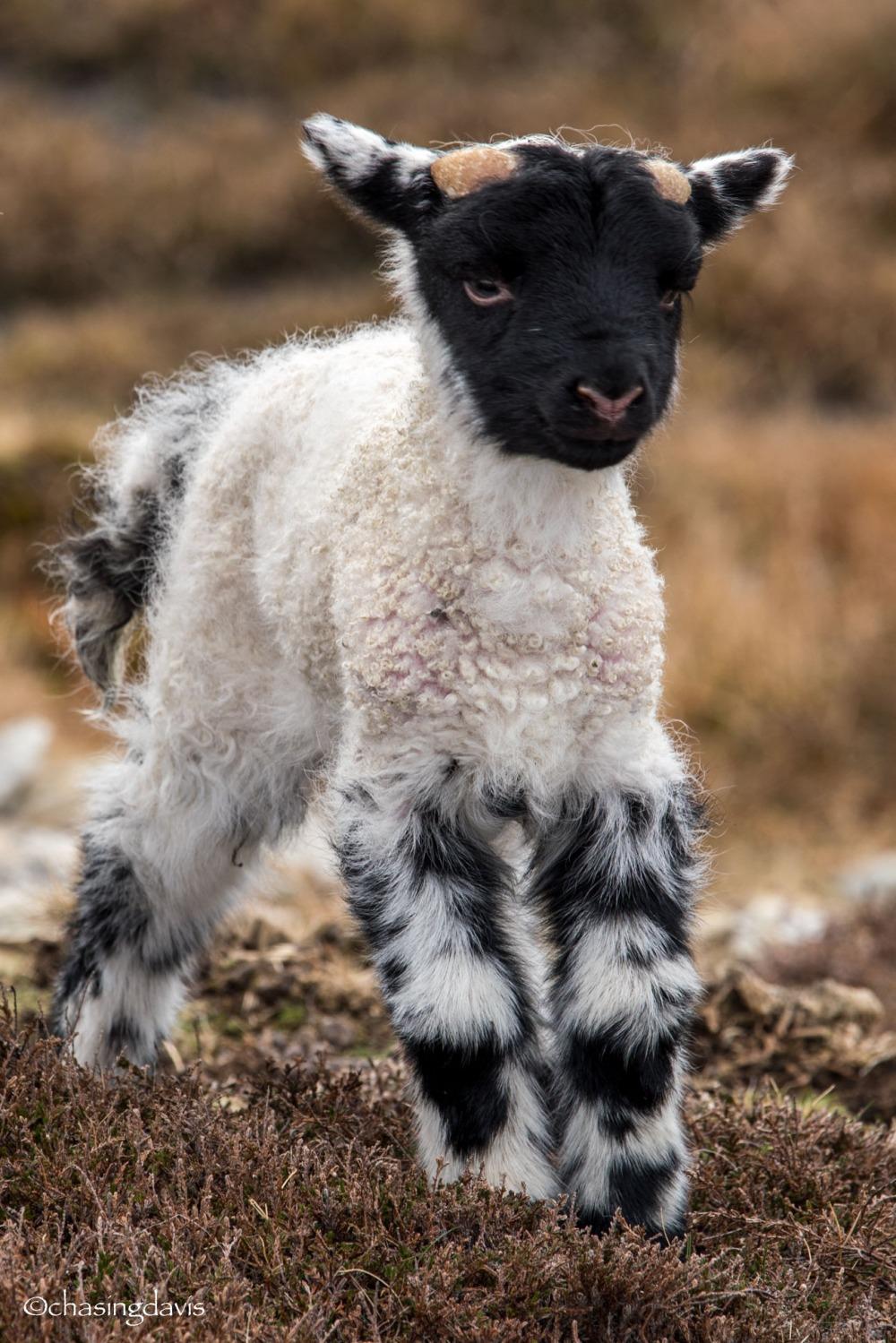 Baby Sheep-17