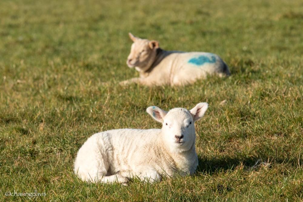 Baby Sheep-2