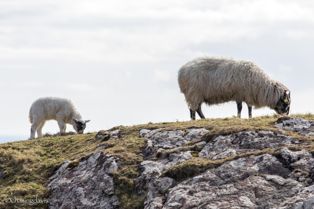 Baby Sheep-21