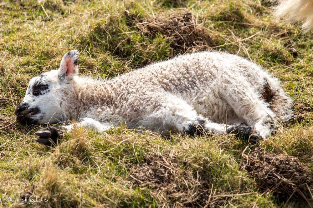 Baby Sheep-22