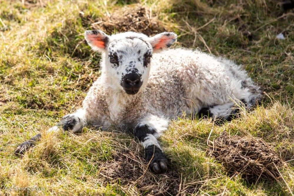 Baby Sheep-23