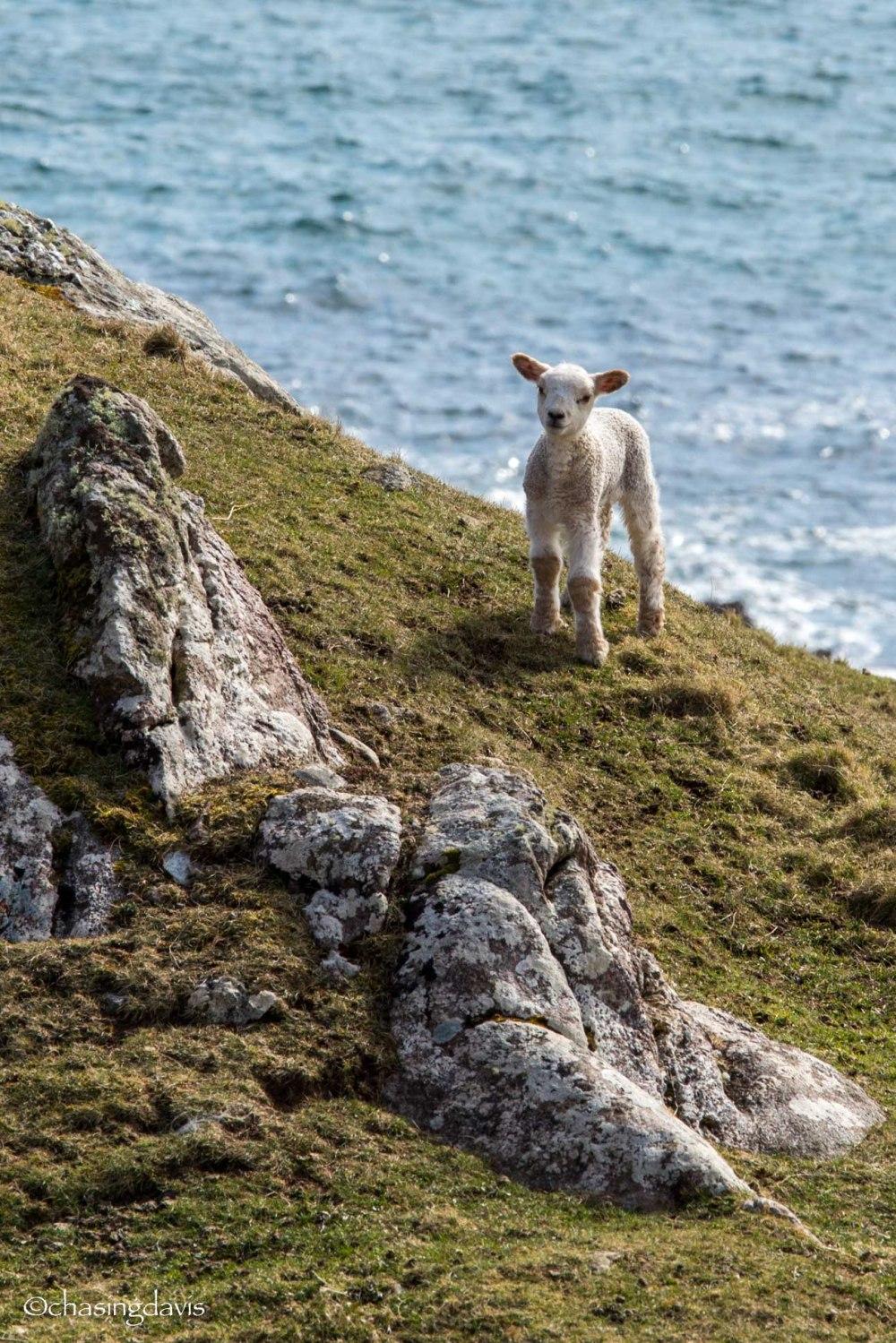 Baby Sheep-24