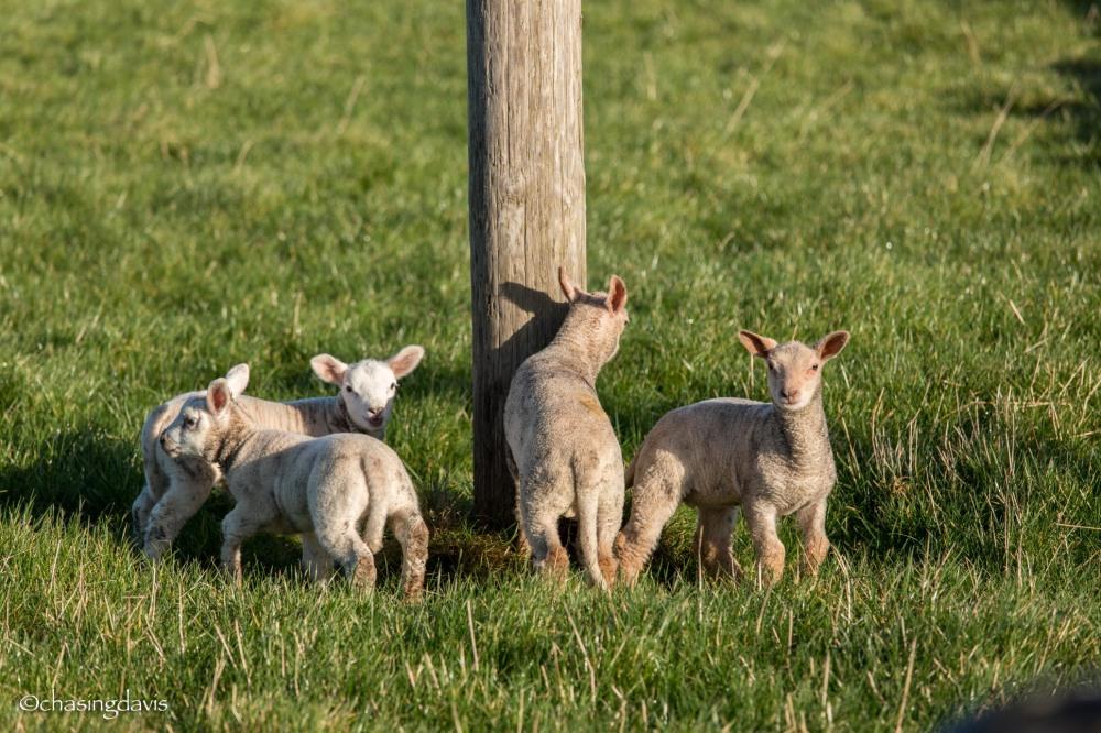 Baby Sheep-4