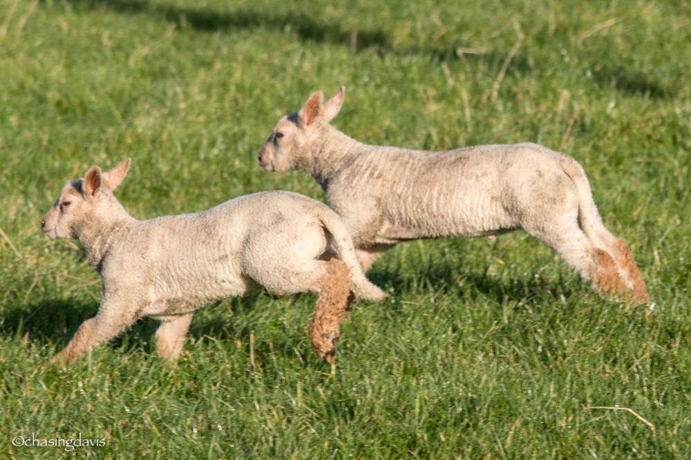 Baby Sheep-5