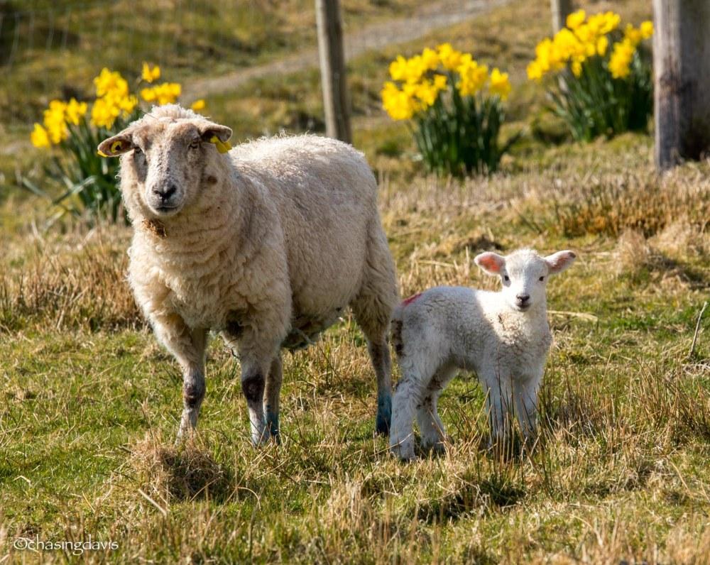 Baby Sheep-8