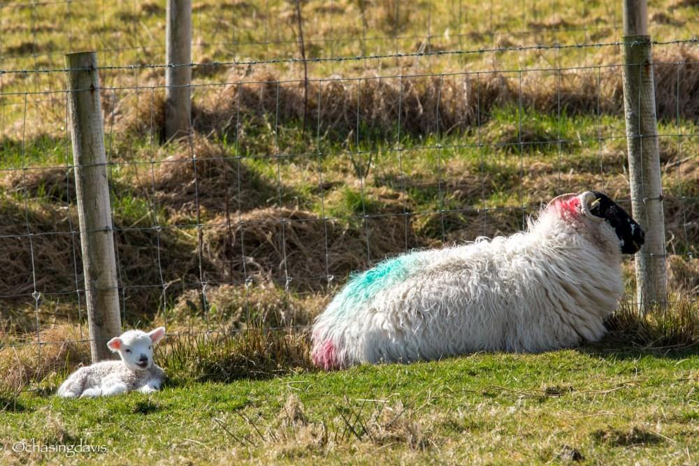 Baby Sheep-9